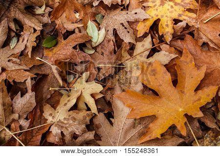 Fall Leaf Litter