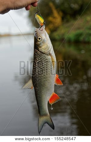 Chub with plastic bait in mouth, lure is of a noname firm, design altered in graphic editor