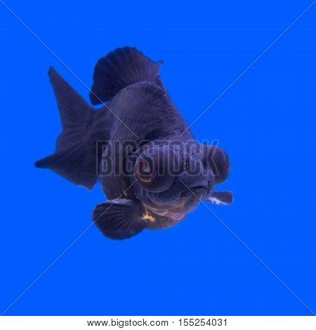 Beautiful Black Moor Goldfish