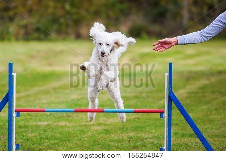 Royal Poodle Jumps Over A Hurdle