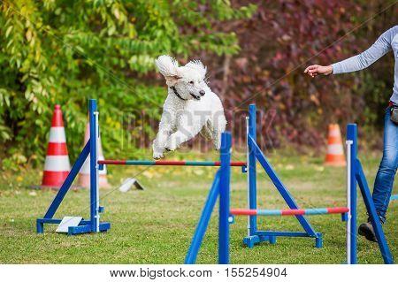 Royal Poodle Jumps Over A Hurdle