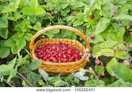 Basket With Fresh Wild Strawberries