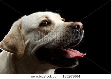 Close-up beige Labrador retriever dog in profile view isolated black background