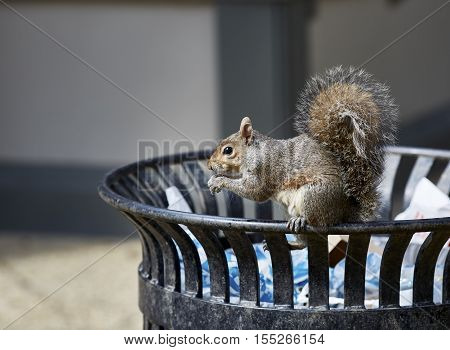 Hungry Squirrel Eating A French Fry
