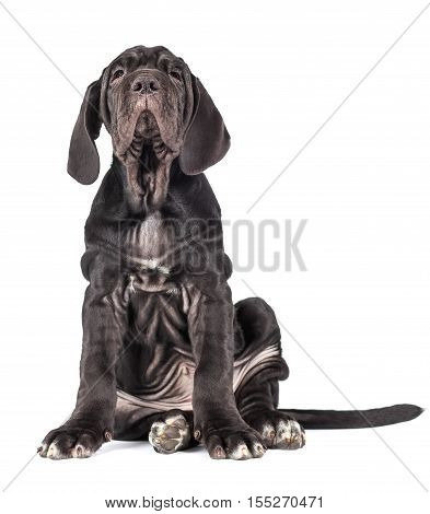 Beautiful young black puppy italian mastiff cane corso (3 month) on white background