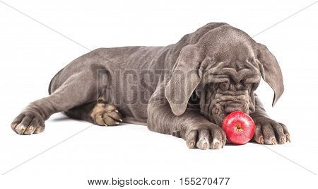 Young puppy italian mastiff cane corso playing with red apple on white background.