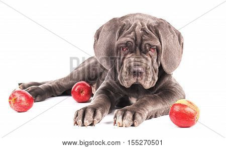 Young puppy italian mastiff cane corso and red apples on white background.