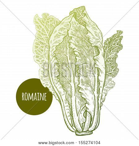 Lettuce romaine. Plant isolated on white background. Vector illustration. Hand drawing style vintage engraving. Greenery for create the menu recipes decorating kitchen items. Vintage.
