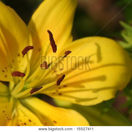 Yellow Lily (close-up)