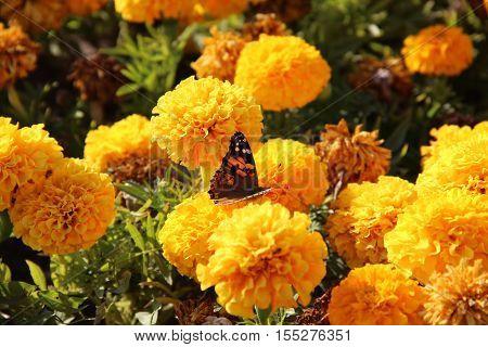 nature, plants, flowers, flora, summer flower, yellow, yellow flowers, nasekomoe, butterflies, fauna