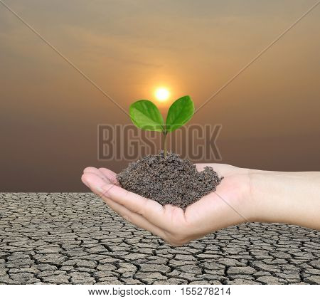 Soil in a Woman hand and treetop on soil with background cracked earth and sunset in evening.