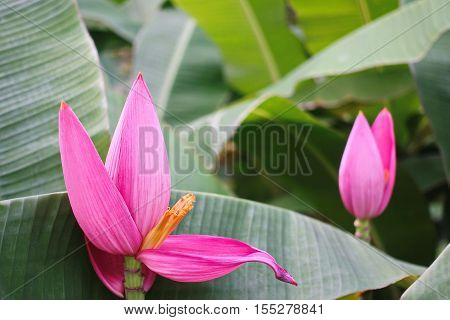 Purple Banana Blossom Of The Banana Tree Nature Outdoor nature Summer