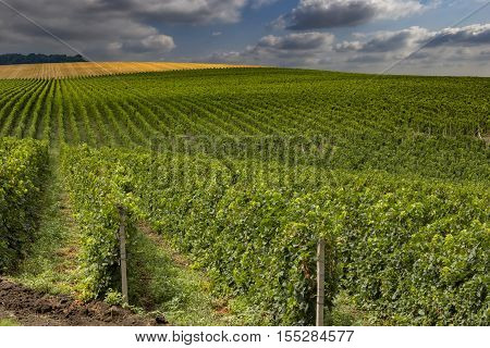 Summer scene of beautiful green vineyard with cloudy sky and mountain horizon.