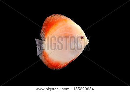 Discus Fish fresh water aquarium on black background