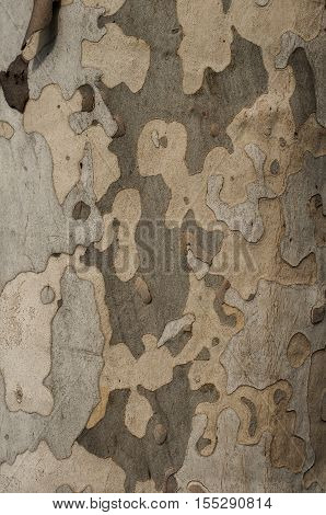 Old plane tree bark closeup as natural background