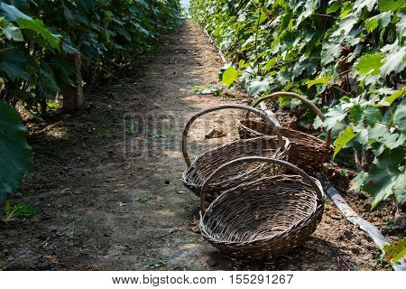 Three wicker baskets in the passageway of vineyard. Empty handmade baskets.