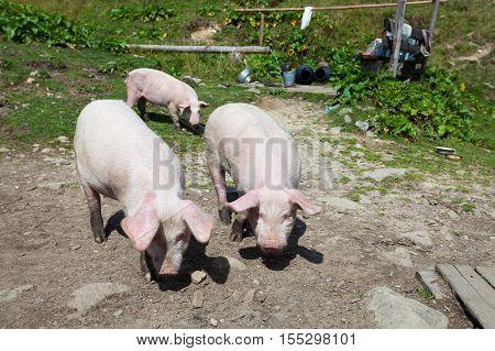Three curious pigs walk around the yard