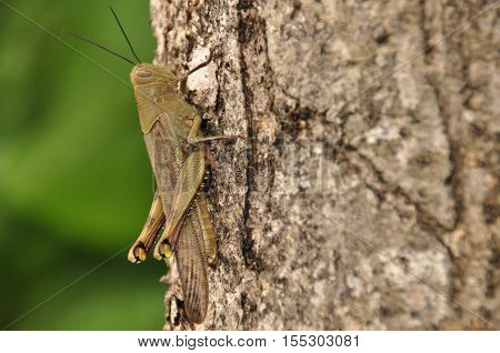 Locusts insect sitting on a tree in the jungle. Indonesia Java.
