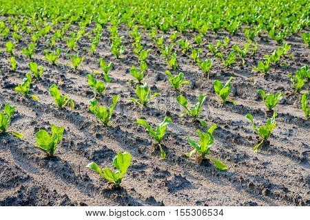 Closeup of recently planted endive plants in long rows on a large field in the Netherlands. It's a sunny day in the summer season the sunlight is still low and the green leaves therefore seem translucent.
