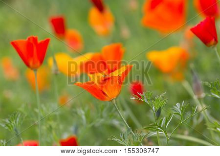 Lot of poppies growing in special area of botanical garden. Remembrance day