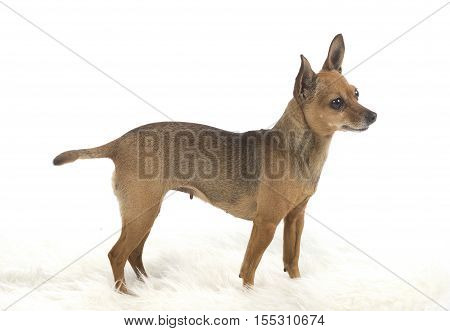 Female Pincher Toy Dog
