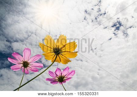 Cosmos Flowers With Sky