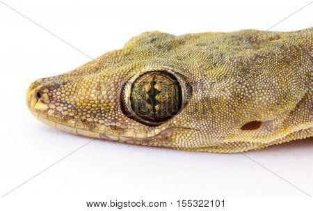 Close Up Of Head House Lizard
