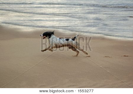 English springer spaniel having fun at the beach with the waves lapping onto the sand. poster