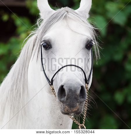 portrait of white amazing arabian stallion. close up