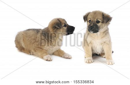 two puppys of 1,5 months old on a white background