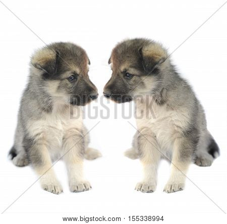 Two cute puppys of 1,5 months old on a white background