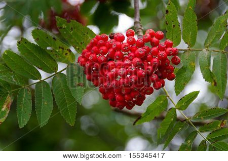 many rowanberry on the tree red and nice now it is autumn