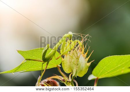 Female European Mantis or Praying Mantis Mantis religiosa on leaf
