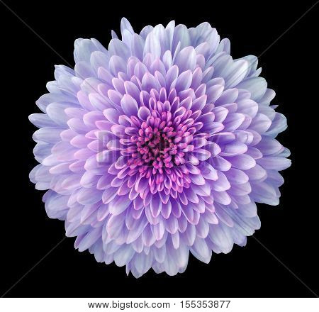 purple-pink-blue flower chrysanthemum garden flower black isolated background with clipping path. Closeup. no shadows. pink centre. Nature.