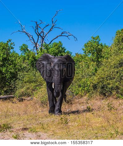 Fascinating journey to Africa. Watering large animals in the Okavango Delta. Elephant - single. Chobe National Park in Botswana