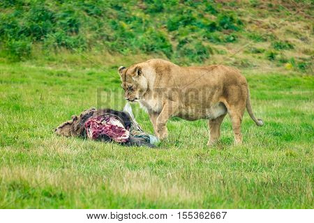An adult lioness feeding after a kill.