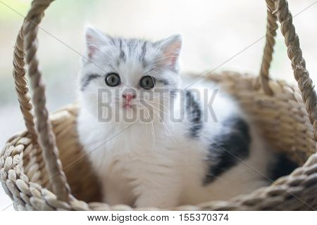 Lovely tabby scottish fold kitten playing in the basket