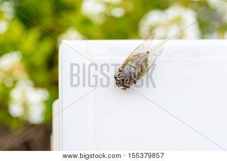 Top View Of Cicada With Blurred Nature Background