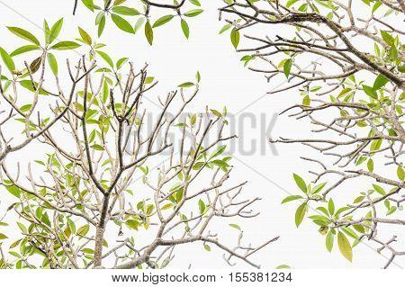 Plumeria tree (frangipani). Green leaves isolted on white background