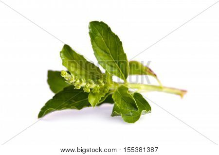 Basil Leaf Isolated On White Background
