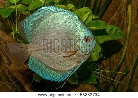 Nice Portrait Of Blue Discus (symphysodon Sp.) Fish