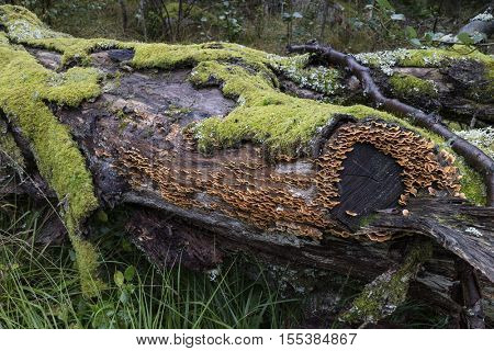 Tree trunk with green moss and Trametes versicolor in the woods