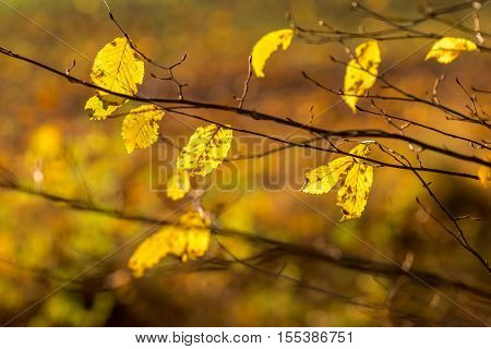 Detail of autumnal beech leaves on blurred background - fall motive from forest