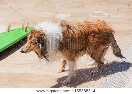 Wet collie dog shaking off near surfboard