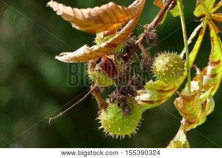 A ripe chestnut on a tree in autumn sunlight
