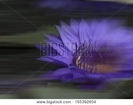lotus A purple A portrait (Streak) Quaint