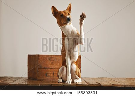 Cute obedient brown and white basenji dog giving a high five sitting on a wooden pedestal next to a vintage wine crate