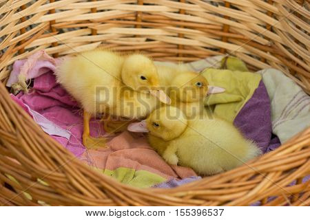 Cute Young Duckling, On Start Of Their Live.