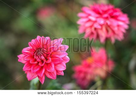 pink dahlia close-up on a background of green grass