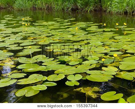 Yellow Water Lilies Are Preparing To Bloom. The River Ay, Urals, Russia